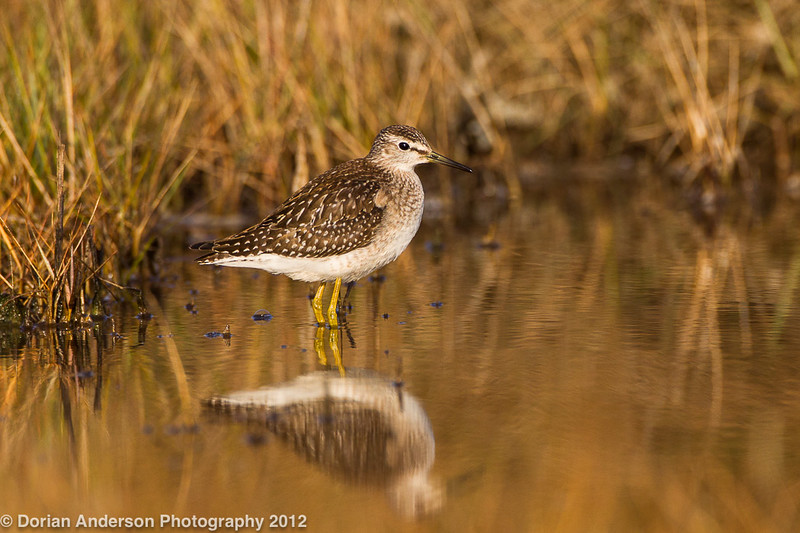 Wood sandpiper, Marsh Meadows Preserve, Jamestown, Rhode Island 10/14/12<br /> Canon 500mm f/4 IS + 1.4x III on EOS 1D Mark IV<br /> 1/1600 at 7.1, ISO 400