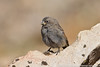 Black Rosy-finch - Yearling/Fledgling