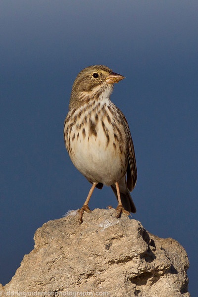 """Large-billed"" Savannah Sparrow"