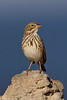 """Large-billed"" Savannah Sparrow"