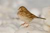 Vesper sparrow, Hadley Honey Pot, Hadley, Massachusetts, 1/5/13<br /> Canon 500mm f/4 IS + 1.4x III on EOS 7D<br /> 1/6400 at f/8, ISO 640