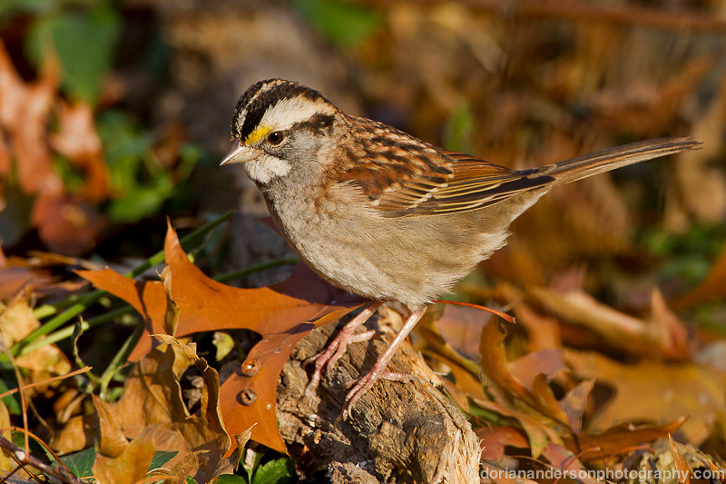 White-throated sparrow, Central Park, New York, New York, 11/23/12<br /> Canon 500mm f/4 IS + 1.4x III on EOS 1D Mark IV<br /> 1/200 at f/8, ISO 400