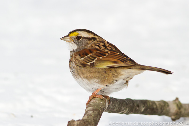 White-throated sparrow, Salisbury, Massachusetts, 1/3/14<br /> Canon 400mm f/5.6 on EOS 7D<br /> 1/1000 at f/8, ISO 640