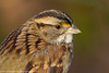 White-throated sparrow, Central Park, New York, New York, 11/23/12<br /> Canon 500mm f/4 IS + 1.4x III on EOS 1D Mark IV<br /> 1/80 at f/8, ISO 400