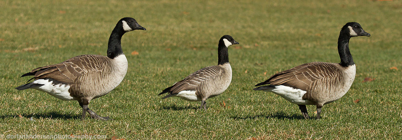 Cackling Goose (with Canadas)