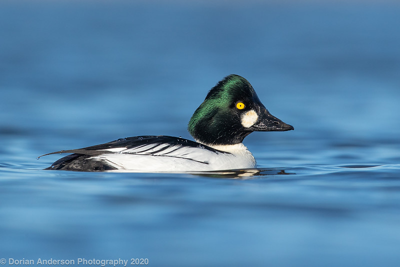 Common Goldeneye (1 of 2)