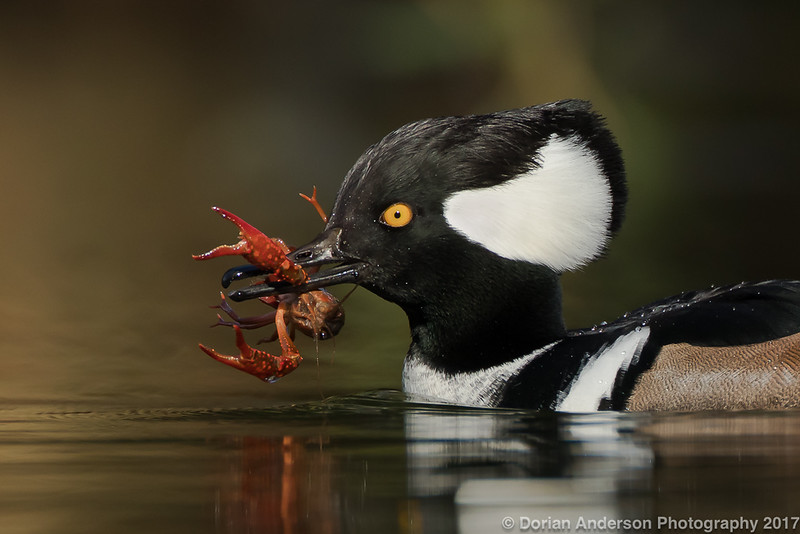 Hooded Merganser with Crayfish