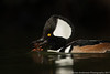 Hooded Merganser with Crayfish - 1 in series of 3