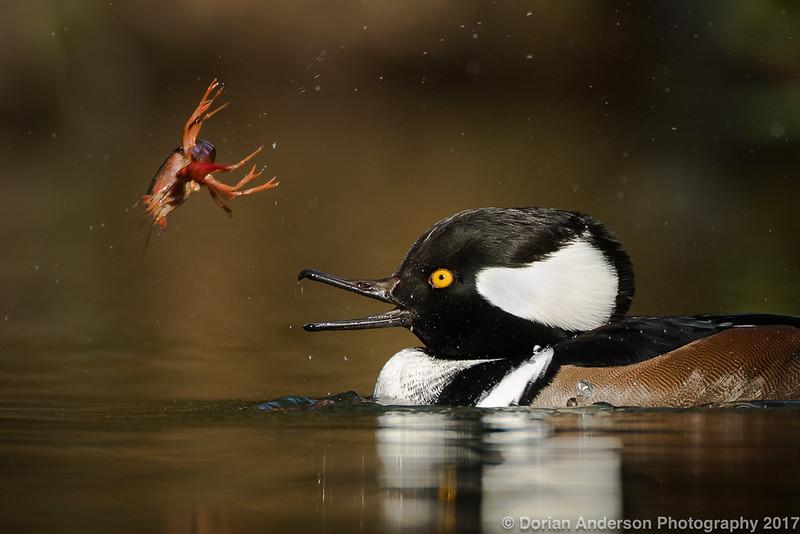 Hooded Merganser with Crayfish