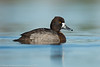 Lesser Scaup (female)