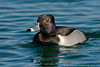Ring-necked duck, Parker, Arizona, January 2011<br /> Canon 400mm f/5.6 on EOS Rebel xTi<br /> 1/500 at f/5.6, ISO 100