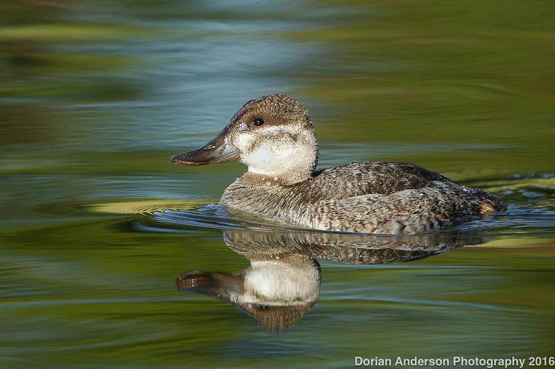 Ruddy Duck (winter plumage)