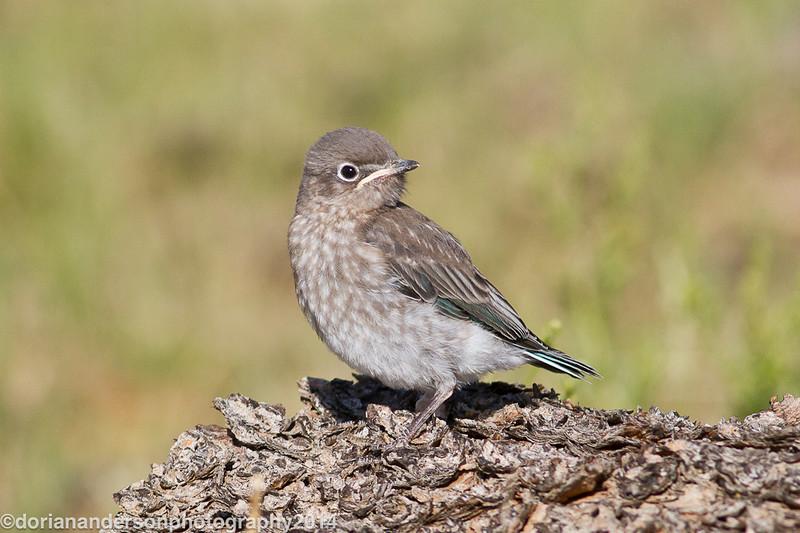 Mountain bluebird fledgling