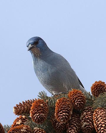 Pine Jay