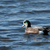 Green winged  Teal