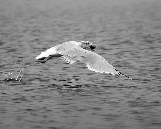 gulls flying