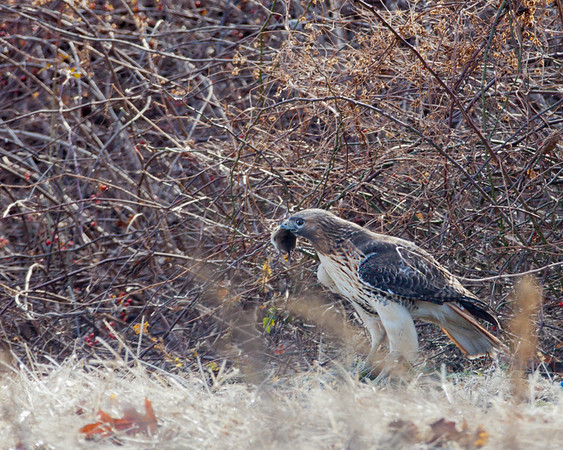 Redc Tailed Hawk