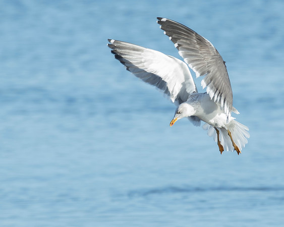 Lesser Blackbacked Gull