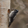 Three Toed Woodpecker