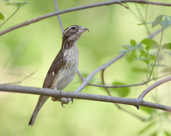 Rose Breasted Grossbeak