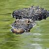 Alligator stare