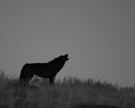 Wolf Howl Black n White