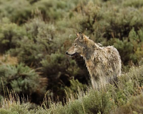 wolfgrey