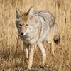 Coyote4new