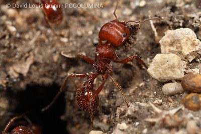 ● Mission Espada, San Antonio Missions N.H.P., TX USA    ● 3/01/10 3:25PM sun/clouds, air temp: 15°C / 60°F  [IMAGE 4 of 4] Late winter/early spring nest maintenance. These Pogonomyrmex barbatus workers were slowly bringing loads of sand/soil up from the depths of their nest. They appeared to be utilizing their psammophores in some cases, and their mandibles alone, in others - depending on the moisture content of the soil they were transporting. It had rained the day before these images were captured, and much of the soil was quite moist and clumped - allowing it to be easily picked up and carried in the mandibles of these workers (like a clump of sticky rice can be picked up with chopsticks).
