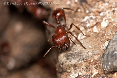 ● Sinaloa, Mexico   ● 1/23/09 9:06AM   Pogonomyrmex wheeleri worker. [scroll down for additional notes/references]  ADDITIONAL NOTES/REFERENCES:  Pogonomyrmex wheeleri is the largest Pogo species in North America, with an average worker size of 9.5mm to 11.5mm.  The range of this ant is limited to Sinaloa, and Narayit, in Mexico.  ·Cole, A.C. 1968. Pogonomyrmex Harvester Ants: A Study of the Genus in North America. Knoxville, University of Tennessee Press ·Taber, S.W. 1998. The World of the Harvester Ants. College Station, TX, Texas A&M University Press