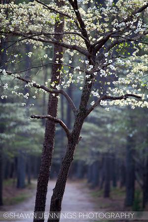 Dogwoods in bloom on Easter Sunday.