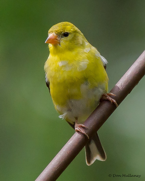 American Goldfinch- Beech Mountain, NC