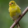 American Goldfinch- Beech Mountain, NC