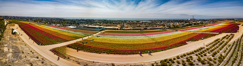 Panoramic of Flower fields of Carlsbad