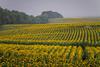A sunflower field in the fog near Wishek, North Dakota, USA.