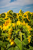 Closeup of sunflowers on a field near Linton, North Dakota, USA.