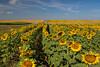 A field of blooming sunflowers near Linton, North Dakota, USA.