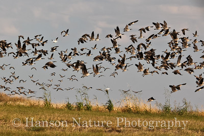 Geese-mostly Canada Geese with some being cackling geese and some large subspecies with a few Snow Geese mixed in.