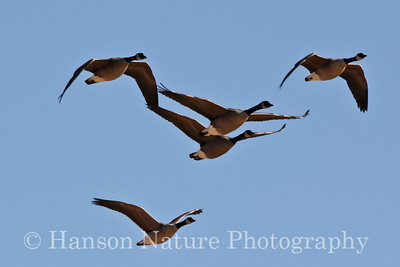 Canada Geese(large subspecies)