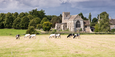 Cows grazing at Cotterstock Church in Northamptonshire