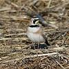 Horny lark