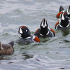 Harlequin duck pursuit