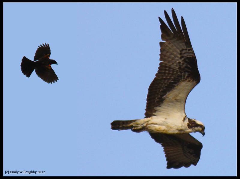Osprey pursuit