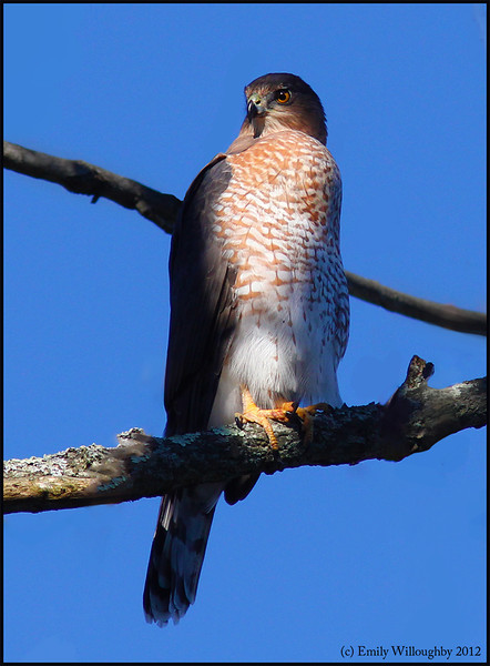 Cooper's hawk with full crop