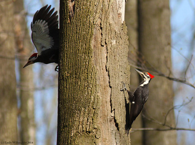 Pileated woodpecker pair