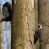 Pileated woodpecker pair