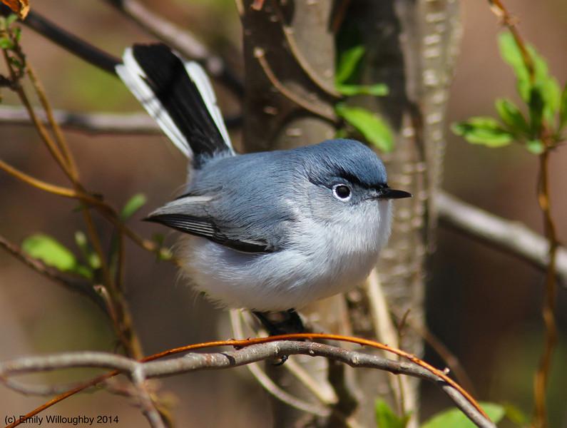 Blue-gray gnatcatcher 2