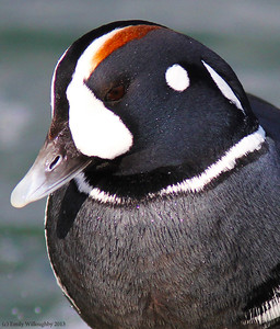 Harlequin duck male