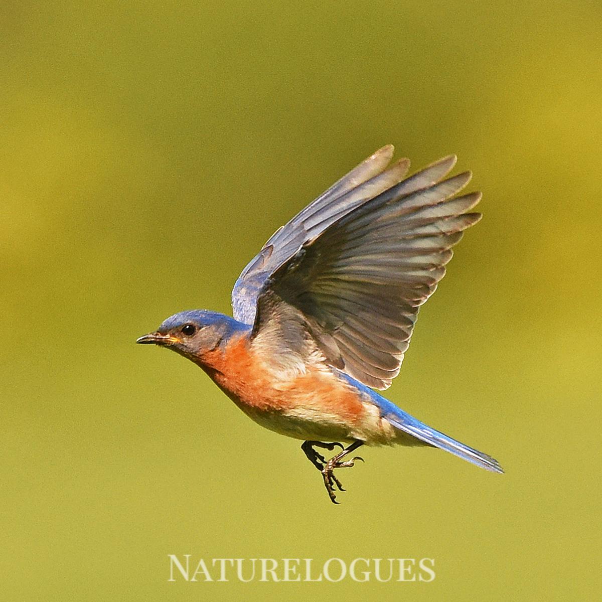 Flying Bluebird