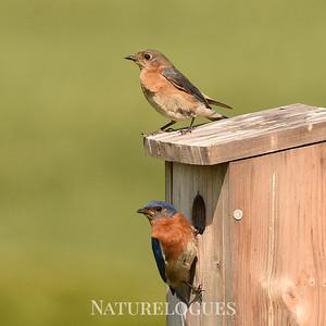 Eastern Bluebirds at Nest Box